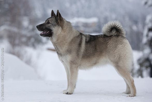 The tails kill me - they wind tighter when they are happy.   Norwegian Elkhound, grey.