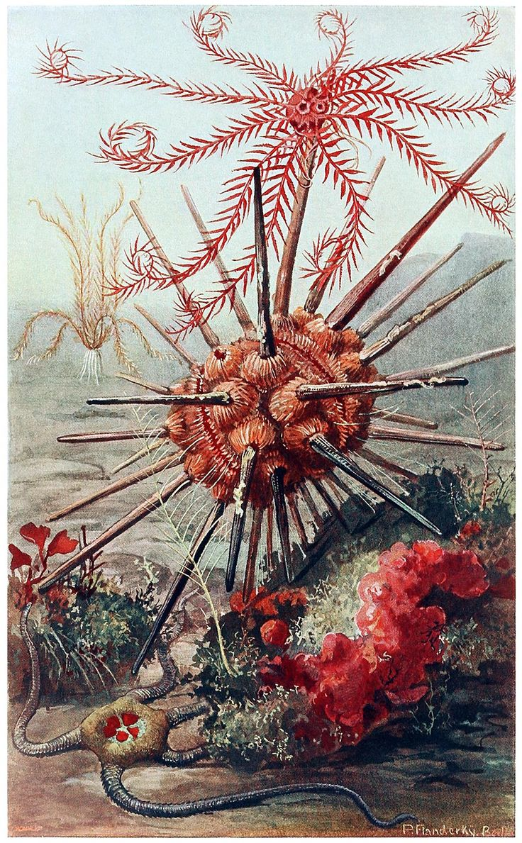 oldbookillustrations:  Crinoids, sea urchin (cidaridae), and Brittle star. Paul Flanderky, from Brehms Tierleben (Brehm's animal life) first volume, under the direction of Alfred Edmund Brehm, Leipzig & Vienna, 1918. (Source: archive.org)