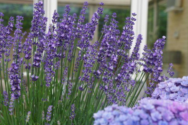 Big Time Blue English lavender (Lavandula angustifolia)