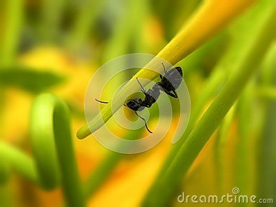 A close-up view of a large black carpenter ant on a yellow nasturtium flower.