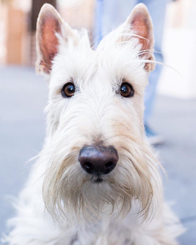"""Izzo, Scottish Terrier (3 y/o), Bleecker & Christopher St., New York, NY • """"He's named after the writer, Jean-Claude Izzo. He spends seven months of the year living in the south of France. Doesn't he look like someone who lives in France?"""""""