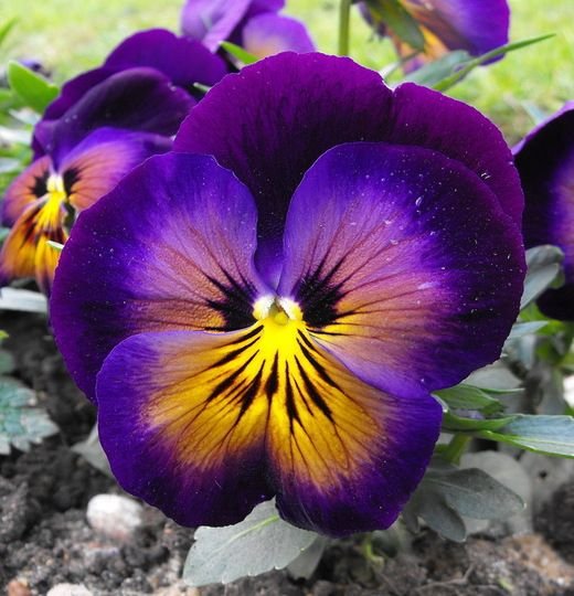 Pansy - The specific colors of the flower – purple, yellow ...