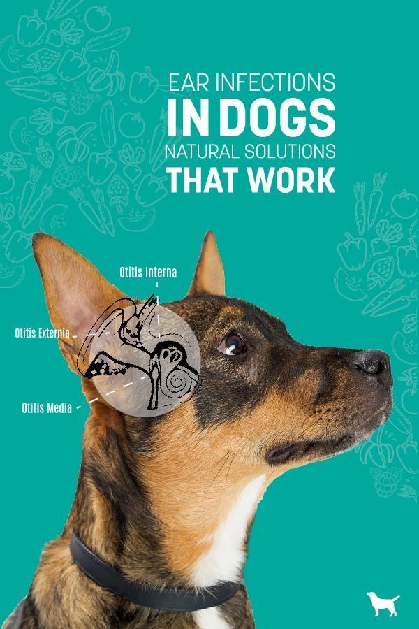Dog Ear Infections Natural Remedies That Work Ear Infection