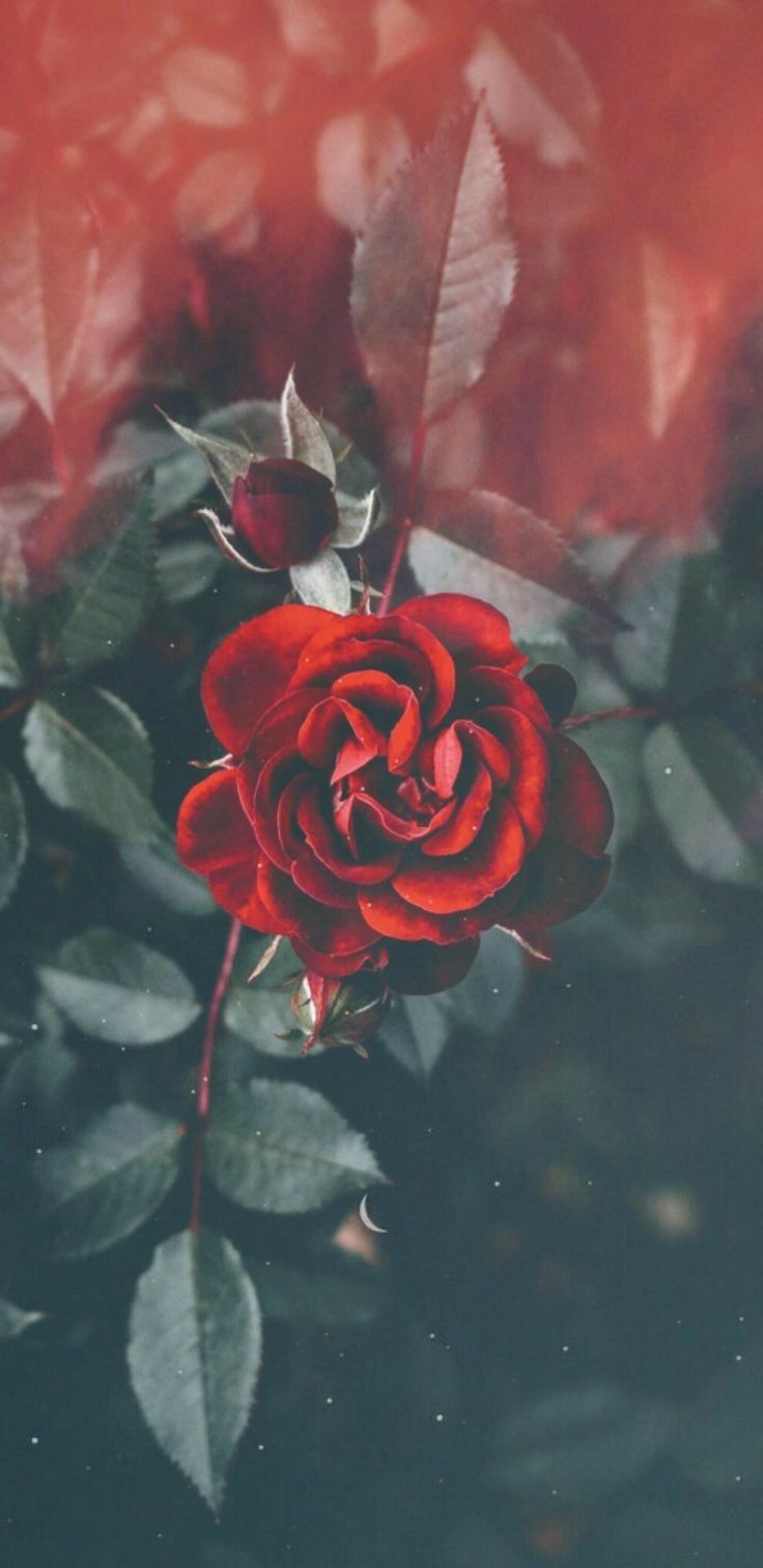 Pin By Mama Hope On Wallpaper Flower Phone Wallpaper Flower Wallpaper Red Roses Wallpaper