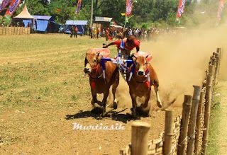 Bull Races ~ Jepret