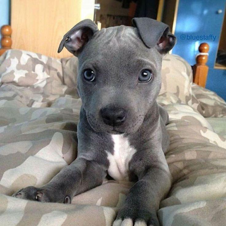 Pitbull puppies for adoption nh