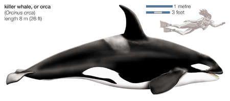 Killer whale (Orcinus orca) - Kosatka dravá