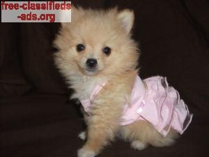 free-classifieds-ads.org - pomeranian puppies for sale. AKC,