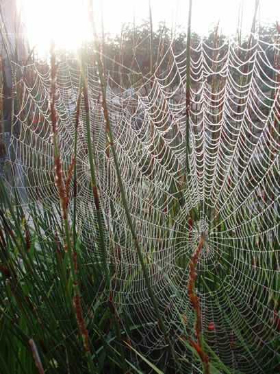 Cobwebs that are so intricate and beautiful. I have always wondered about the spider and how they decide what to spin and also, how long did this take. Amazing!!