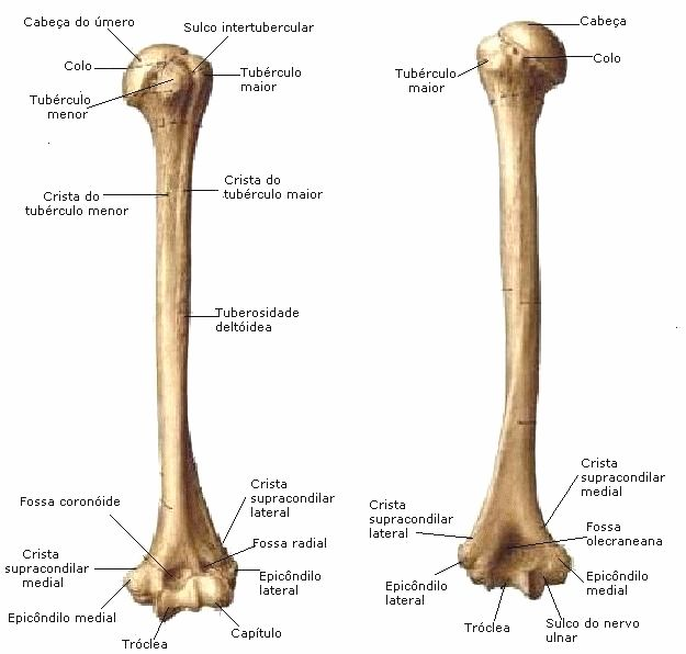 Anatomia humana musculos - Musculos, articulações, ossos e ligamentos, apostila completa