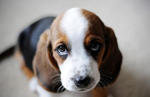 Basset Hound Puppy  I have decided that I am going to get me and Charlie a Basset Hound Puppy :) <3
