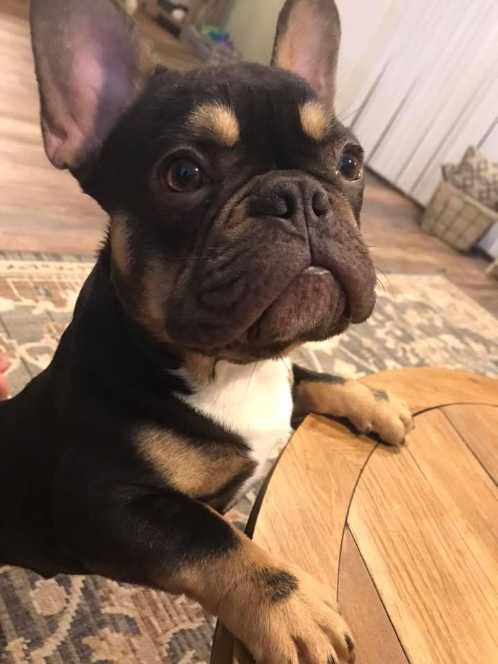Pets Image By Ginasalvo16 On Dogs French Bulldog Bulldog
