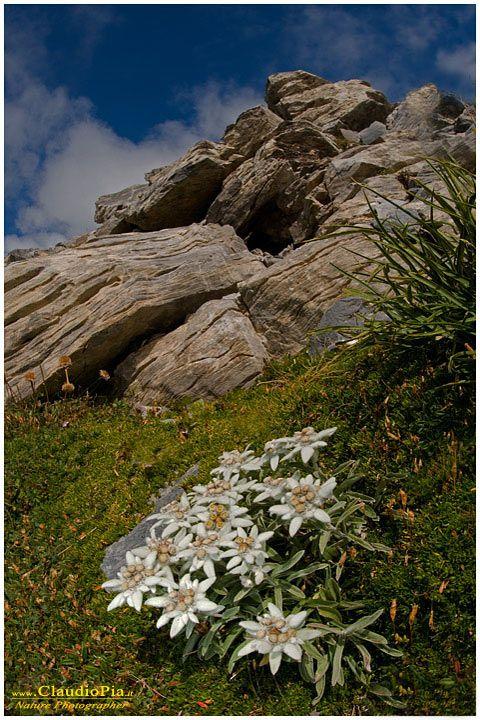 leontopodium alpinum, fiori di montagna, alpini, fotografia, foto, alpine flowers