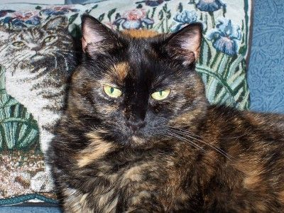 The unique personality of the tortoiseshell cat