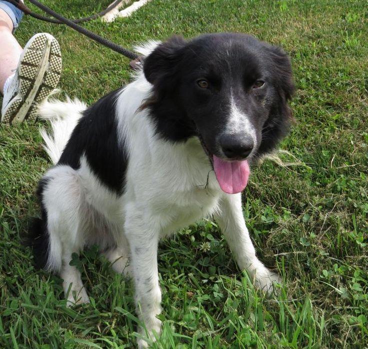 Adopt max on petfinder collie dog border collie dog dogs