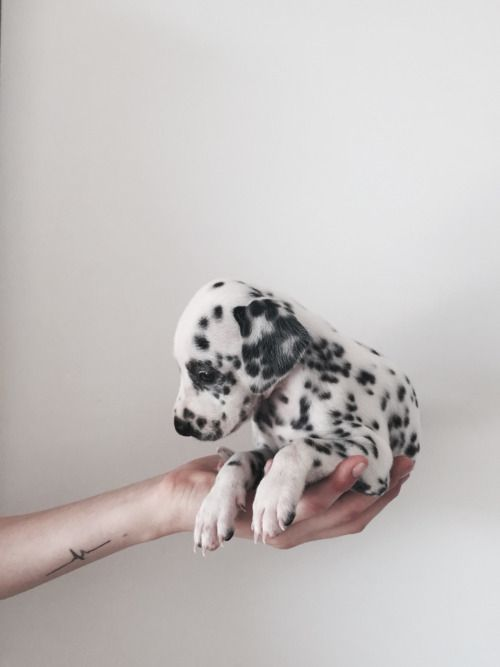 Dalmatian. Q could sit in the palm of my hand when she was a puppy. Oh such beautiful memories.