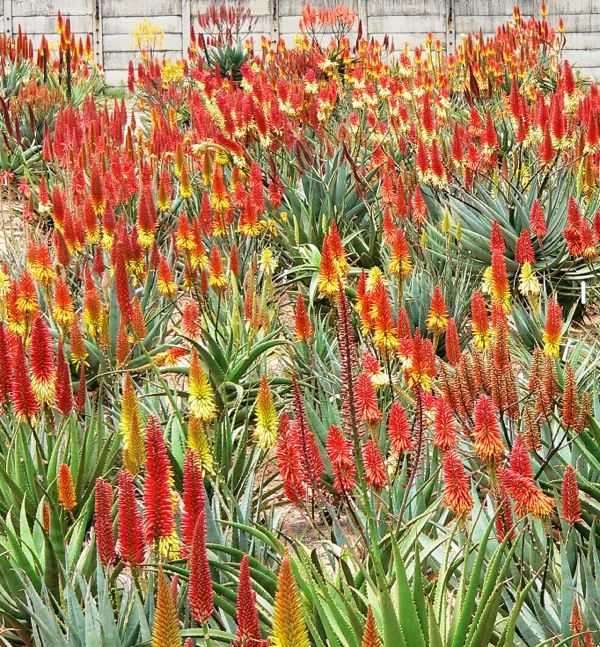 Mass planting of aloes
