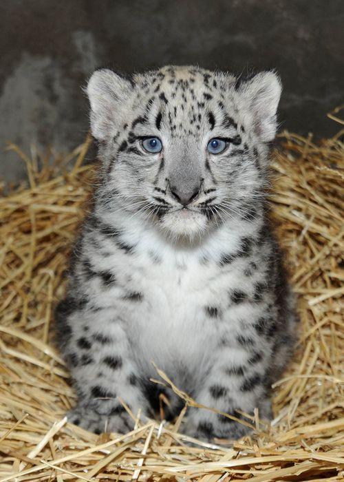 Snow leopard cub born at Brooklyn Zoo