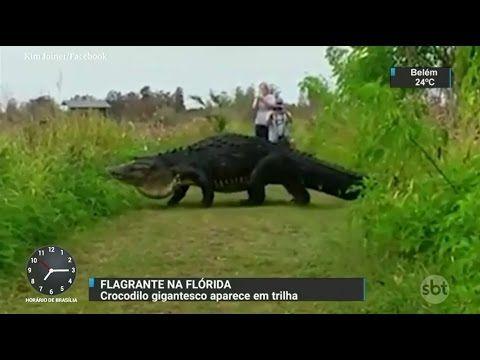 Crocodilo gigante é filmado por turistas em parque da Flórida