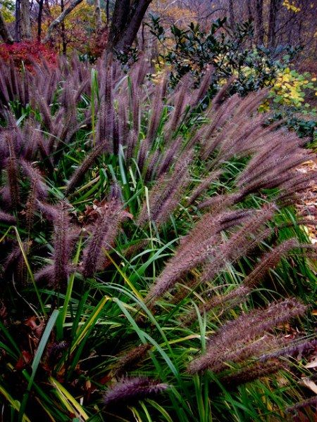 278 best images about ornamental grasses on pinterest for Ornamental grasses for shade