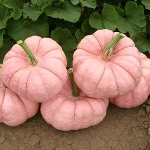 Hey, I found this really awesome Etsy listing at http://www.etsy.com/listing/155652572/pink-pumpkins-porcelain-doll-breast