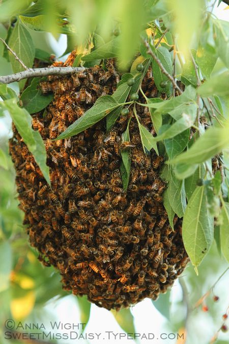 Honey Bee Swarm by Anna Wight