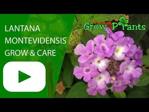 Lantana Montevidensis Learn How To Grow Lantana Montevidensis Plant Information Climate Zone Uses Growth Spe Plants Pollinator Plants Plant Information