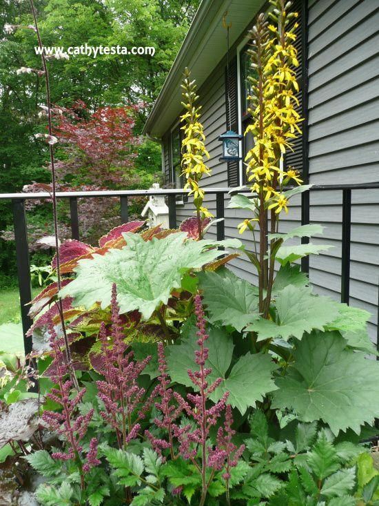 Shrubs For Shade Houston : Best images about ligularia on gardens sun