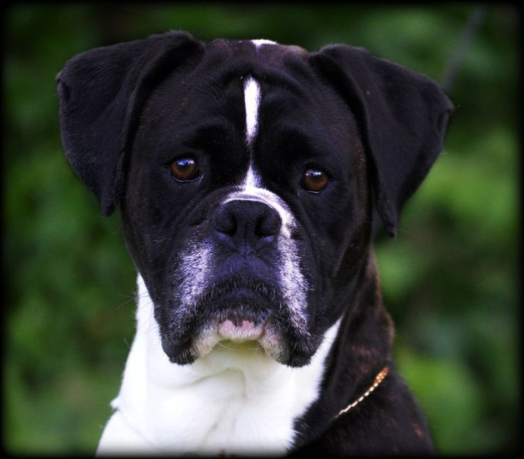 HavenWoods Boxers * Top Quality AKC German and American