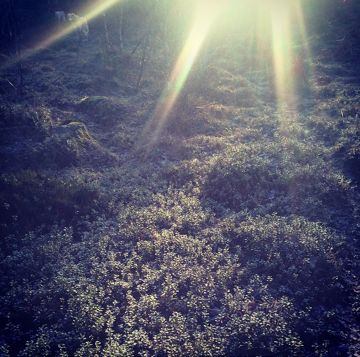 Lingonberry forest in sunshine / Lingonskog i solsken. Lena Losciale. Sweden.