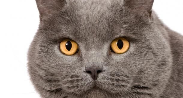 17 best images about chartreux cats on pinterest animal - Chat orange ...