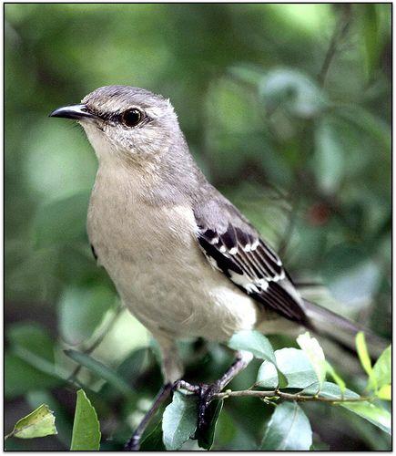26 best BackYard Birds of TEXAS images on Pinterest ...