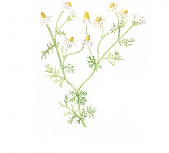 Our camomile watercolor by Maja Steen.