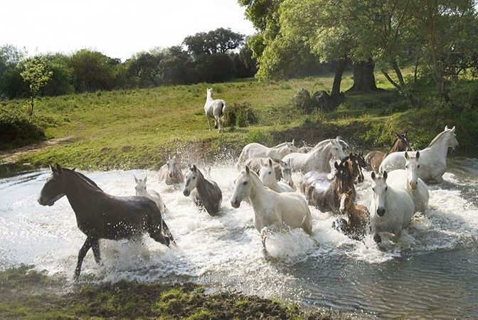 Portugal - Alentejo  horses