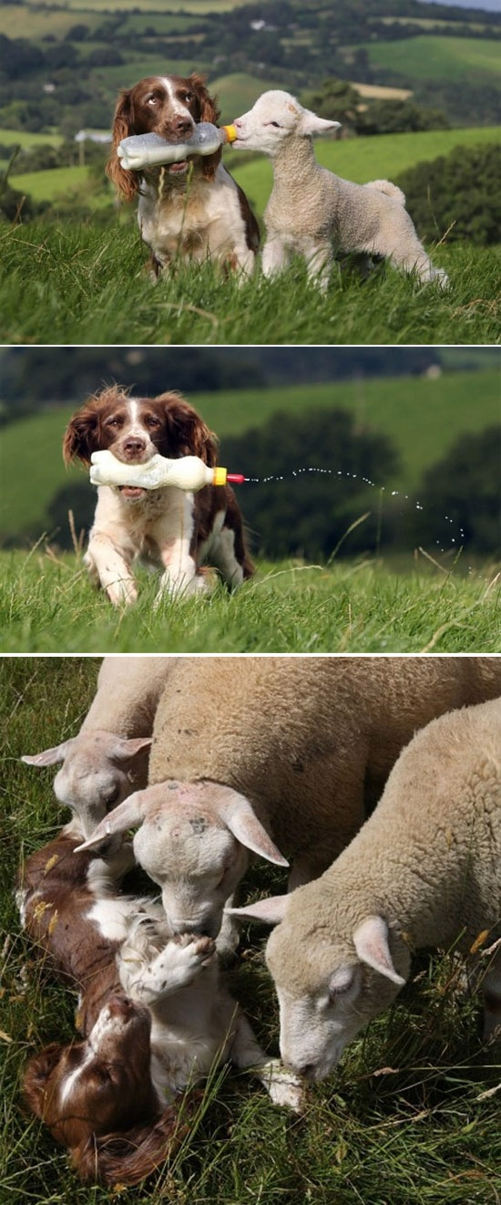 Jess is a 10 yr. old Springer Spaniel who has been bottle feeding the lambs on owner Louise Moorhouse's farm in Devon, England since she was a puppy. Jess is pictured here feeding a lamb named Shaun.