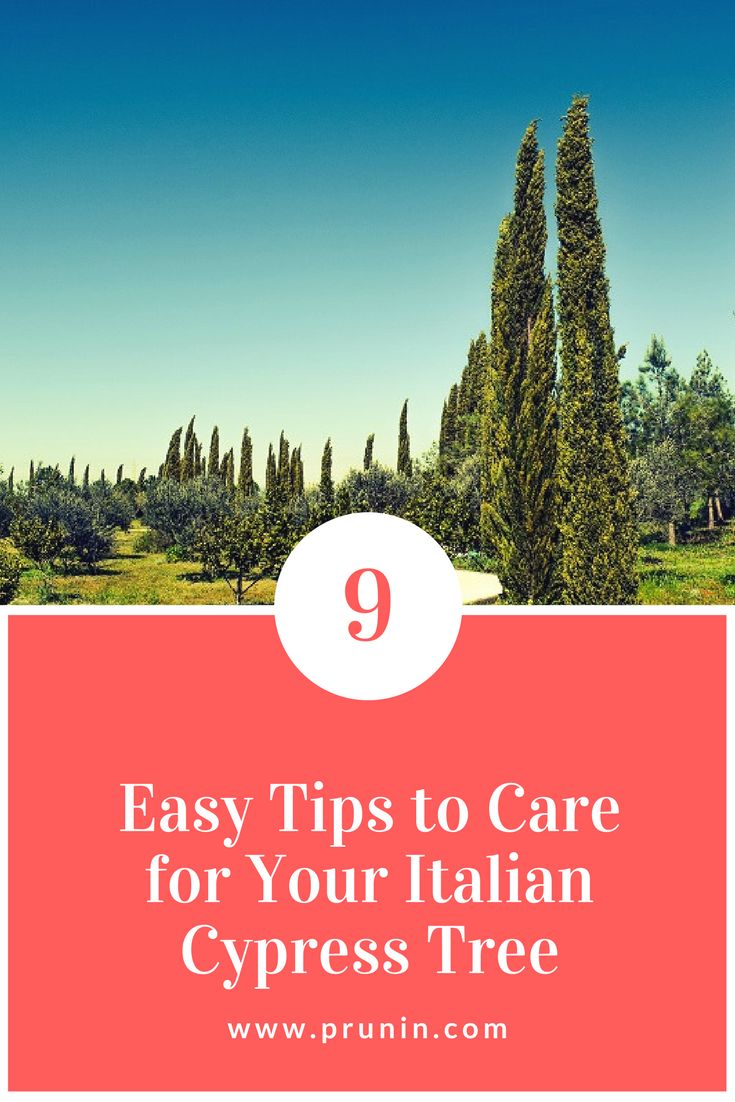 Best 25 Italian Cypress Trees Ideas On Pinterest
