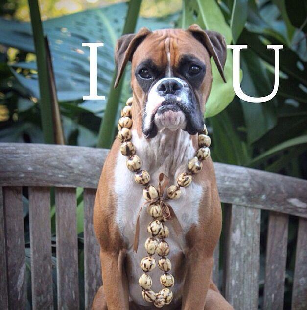"""""""I dig this Hawaiian life!!""""  (boxer)"""