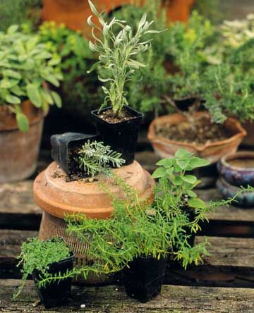 Planting Potted Herbs -Potting herbs takes little time and no special talent. Combining different herbs in one container, however, requires some planning. First, only plant together herbs that share cultural needs or conditions in terms of soil, light, and water.