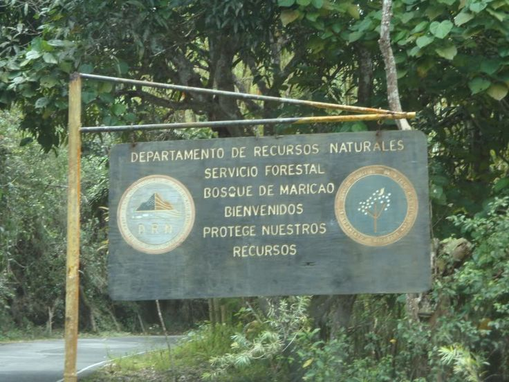 Recently another poblation of parrots where move to this forrest in Maricao.