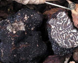Χειμωνιάτικη μαύρη τρούφα - Tuber brumale