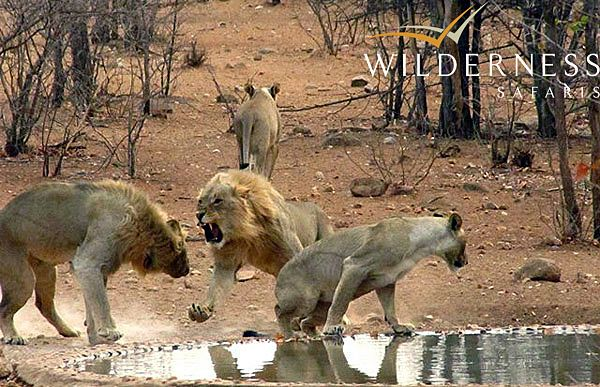 The Ongava Reserve – October 2013 The resident lion pride arrives at the camp waterhole…and the drama unfolds - #Africa #Namibia #Safari #WildernessSafaris