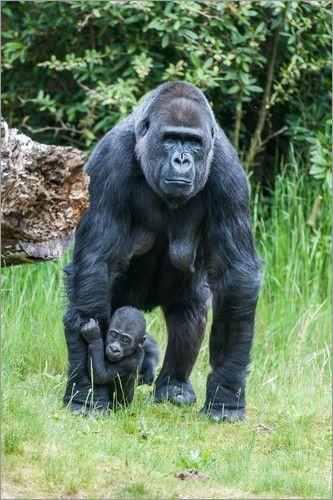 Mein Poster des Tages verkauft nach Frankreich via Amazon: Ingo Gerlach - Mama Gorilla mit Baby Gorilla