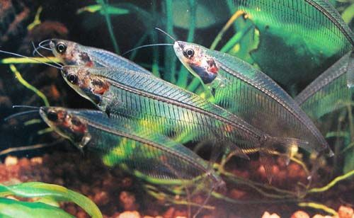 Ghost Catfish (known as Glass Fish)- The most transparent known vertebrate. Their transparency is not fully understood, and turn opaque when deceased.