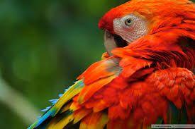 Resultado de imagem para fotos dos passaros da amazonia