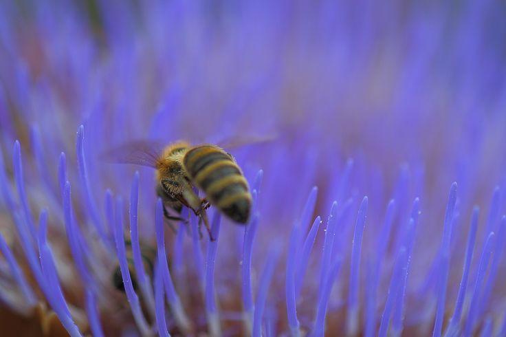 Biene in Artischockenblüte