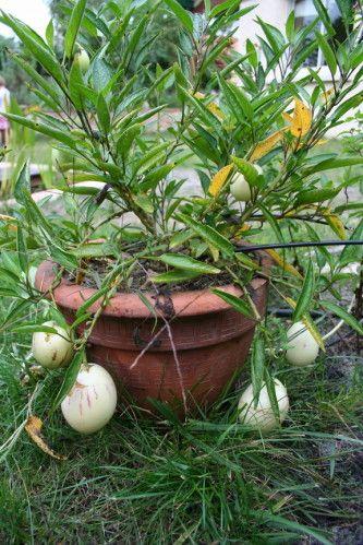 Solanum muricatum, pépino 22537 redimensionner