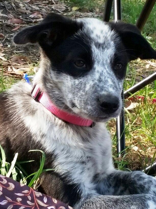 Zoe our Blue heeler / Border Collie cross abt 11 weeks.