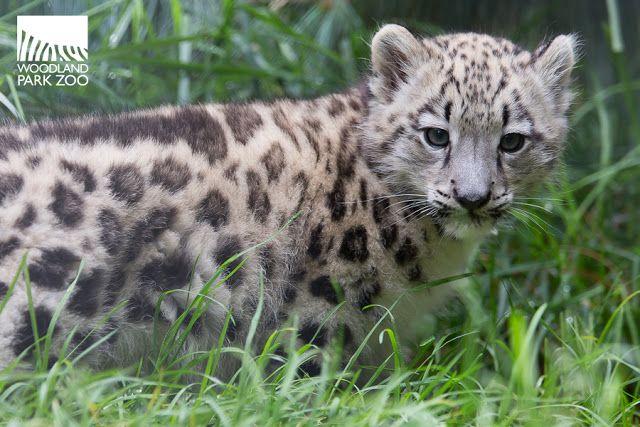 2017_09_19 Aibek snow leopard 900-10wm