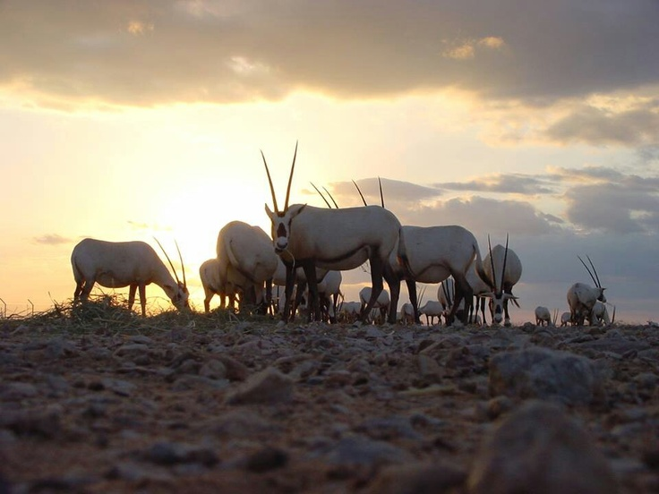 1000+ images about Arabian Oryx on Pinterest | Dubai ...