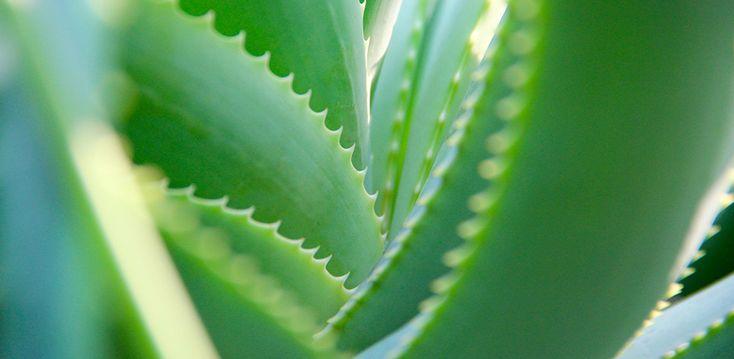 Can Aloe Vera Help Your Eczema?
